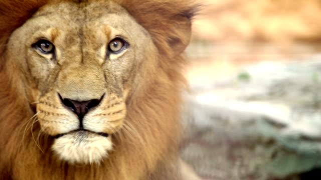 ライオン ビデオ