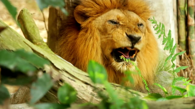 ライオンます。 - 動物の雄点の映像素材/bロール