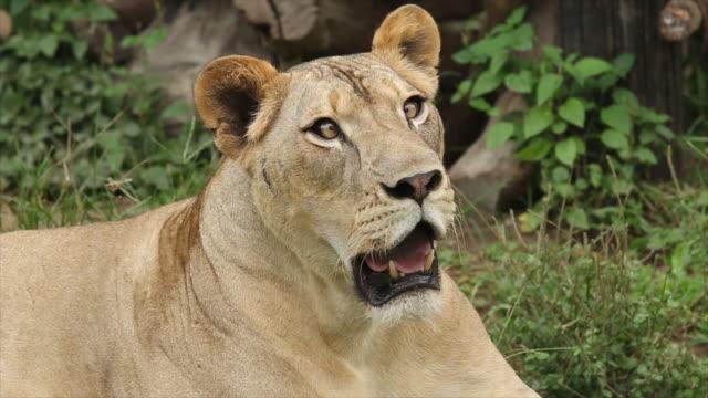 stockvideo's en b-roll-footage met lion - leeuwin