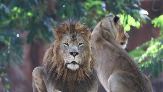 lion - wildlife travel stock videos and b-roll footage