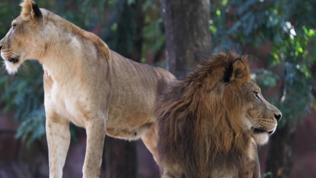lion - bedrohte tierart stock-videos und b-roll-filmmaterial