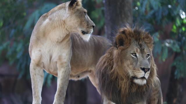 Lion - Vidéo