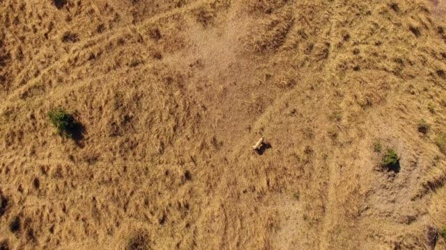 Lion walking in Masai Mara National Reserve, Kenya aerial view
