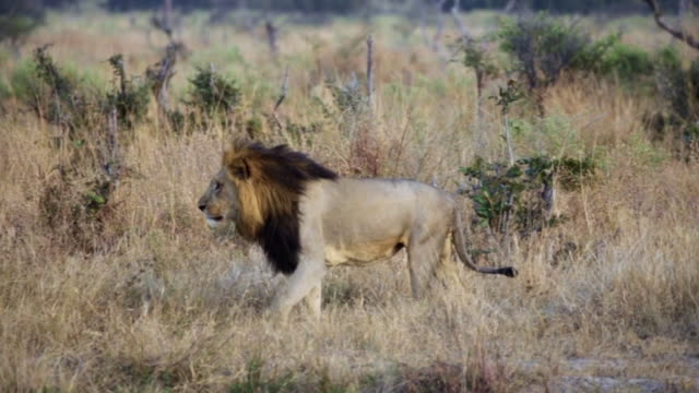 A Lion Walks through the African Bush at Chobe Game Reserve in Botswana. video