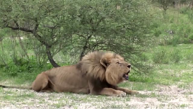 Lion wild dangerous mammal africa savannah Kenya video
