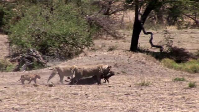Lion wild dangerous mammal africa savannah Kenya video