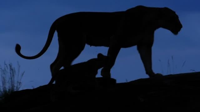 löwin und junge silhouette - großwild stock-videos und b-roll-filmmaterial