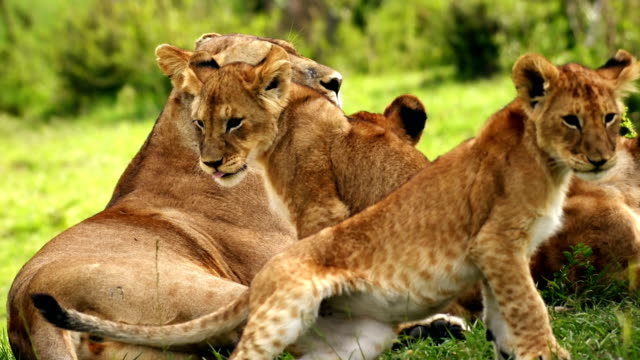 Lioness and cubs relaxing in Masai Mara National Reserve
