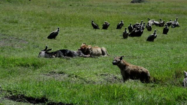 雌ライオンと Scavengers のセレンゲティ ビデオ
