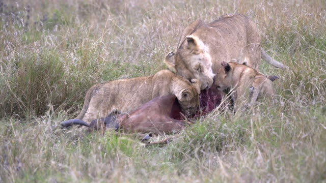 lioness and two young cubs feeding in masai mara