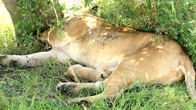 stockvideo's en b-roll-footage met leeuwin op wild met pasgeboren baby - zuigen - leeuwin