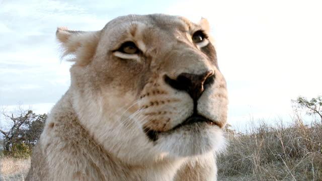 stockvideo's en b-roll-footage met lioness closeup profile on safari - leeuwin