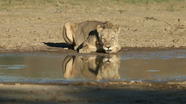 Lioness drinking water A lioness (Panthera leo) drinking at a waterhole, Kalahari desert, South Africa waterhole stock videos & royalty-free footage
