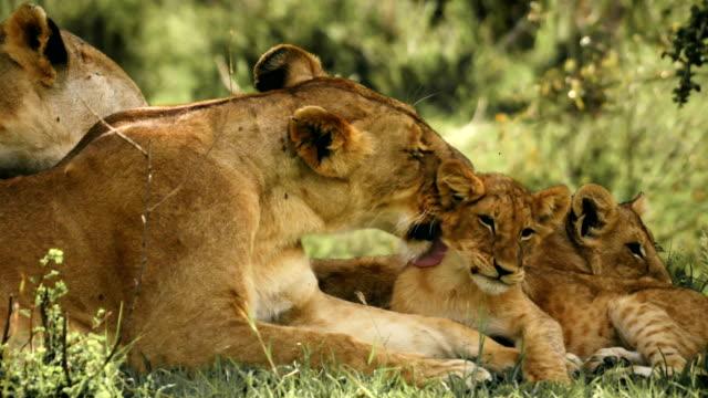 Lioness grooming her cubs Lioness grooming her cubs animal family stock videos & royalty-free footage