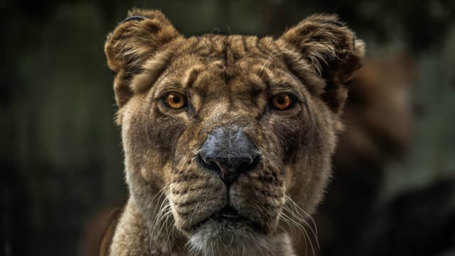 Lioness head close up 4K African feline with telephoto lens. botswana stock videos & royalty-free footage