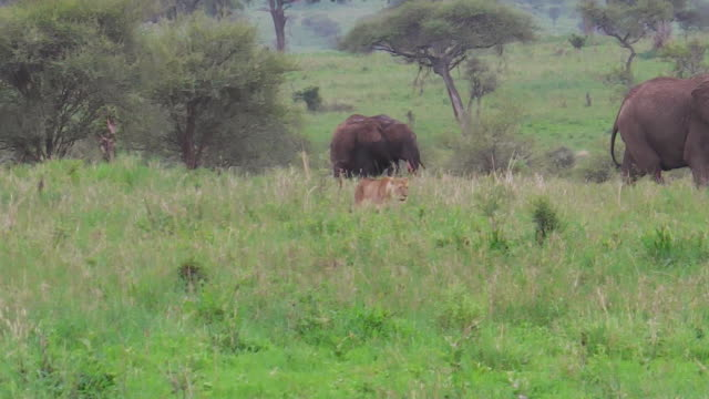 stockvideo's en b-roll-footage met leeuwin jacht olifanten - leeuwin