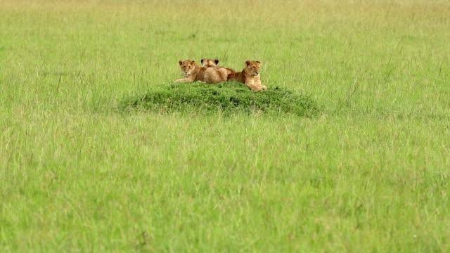 stockvideo's en b-roll-footage met leeuwin jacht / preying op wild - leeuwin