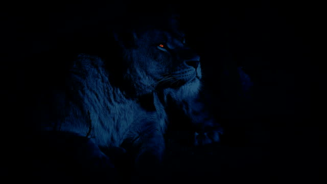 Lioness In Den At Night With Glowing Eyes video