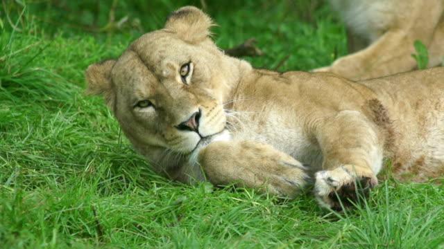 stockvideo's en b-roll-footage met lioness in super slow motion - leeuwin