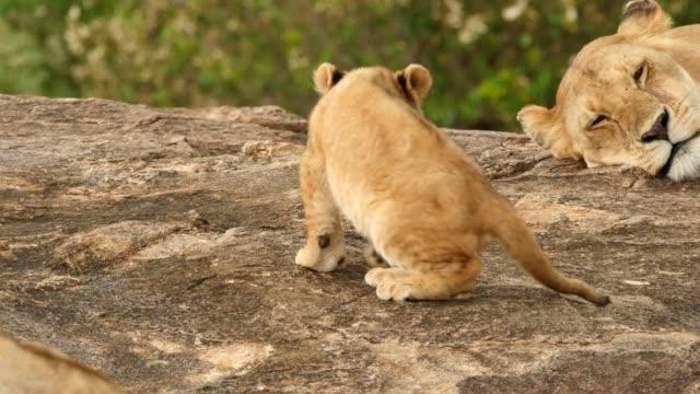 lioness nursing cubs on a kopje - уход за поверхностью тела у животных стоковые видео и кадры b-roll