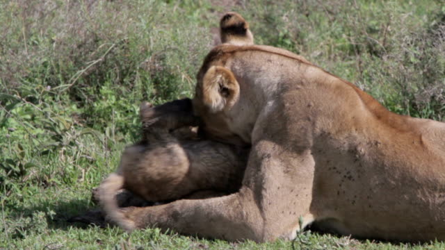 stockvideo's en b-roll-footage met lioness playing and cleaning her cubs - leeuwin