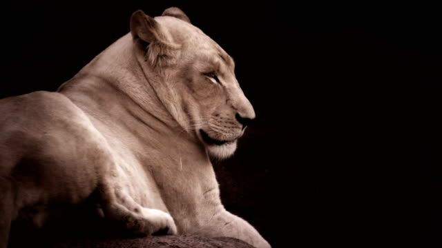 Lioness posing in a dramatic lighting. video