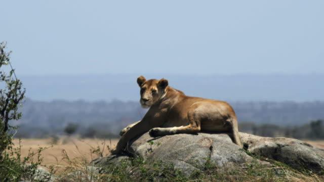 stockvideo's en b-roll-footage met leeuwin rustend op een cafeetjes tijdens een dagje met hete droge seizoen van de serengeti - leeuwin