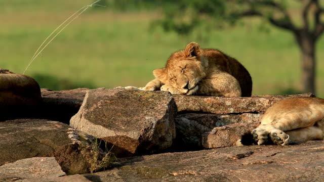 雌ライオン休息にカブス ビデオ