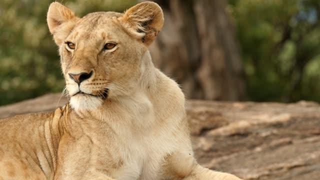 stockvideo's en b-roll-footage met leeuwin zittend op elsa's kopje - leeuwin