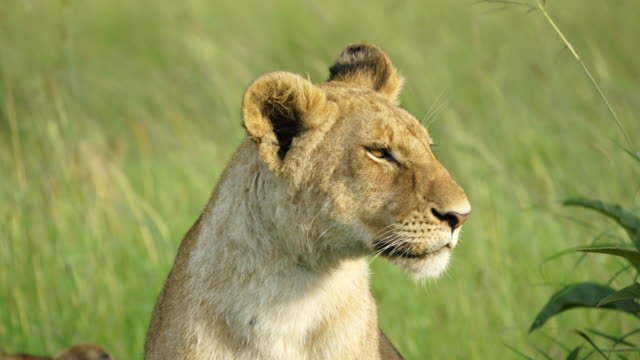 Lioness Sitting Up In Tall Grass