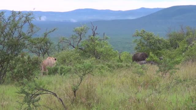 ライオンはアフリカのブッシュのバッファローをストーキングします。 - 動物の雄点の映像素材/bロール