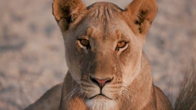 ボツワナ、カメラを見つめながら雌ライオン ビデオ
