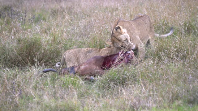 lioness stops feeding and looks around at masai mara in kenya
