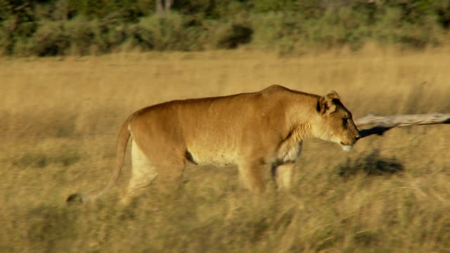 Lioness walking video