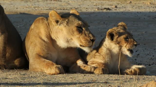 stockvideo's en b-roll-footage met leeuwin (panthera leo) met jonge leeuw cub - leeuwin