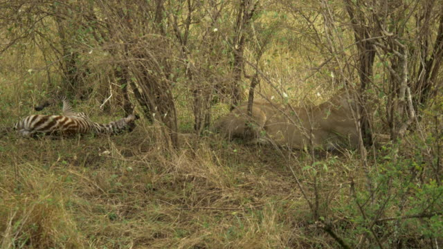 Leona con cebra potro de Masai Mara, Kenia - vídeo