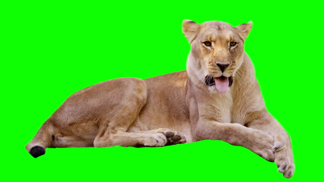 Lioness Yawning on Green Screen