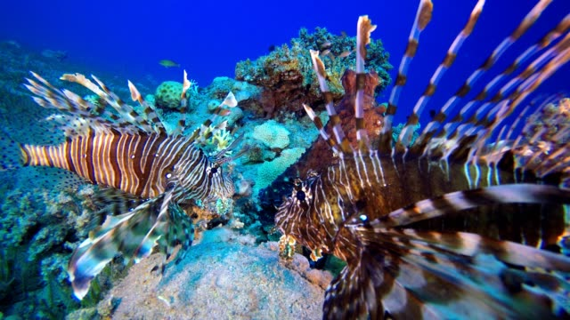 Lionfish and Octopus Red octopus (Octopus cyanea) and  lionfish (Pterois miles). Underwater fish reef marine. Tropical colorful underwater seascape. Reef coral scene. Coral garden seascape. Colorful tropical coral reefs aquatic organism stock videos & royalty-free footage