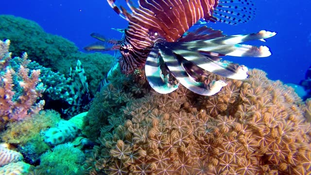 Lionfish and Soft Coral video