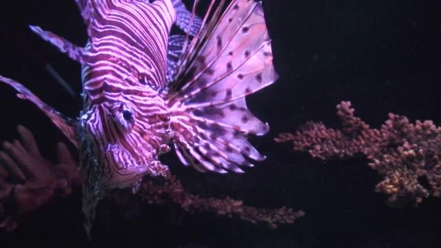 vídeos y material grabado en eventos de stock de pez león (pterois volitans) close-up - parte del cuerpo animal
