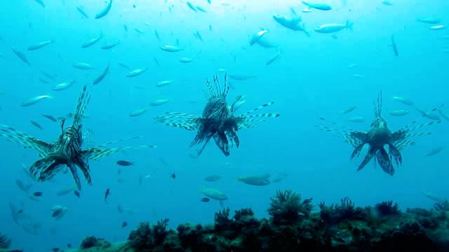 rotfeuerfisch (pterois) fisch auf kled kaeow schiffswrack tauchplatz, andamanensee, krabi, thailand. - süßwasserfisch stock-videos und b-roll-filmmaterial