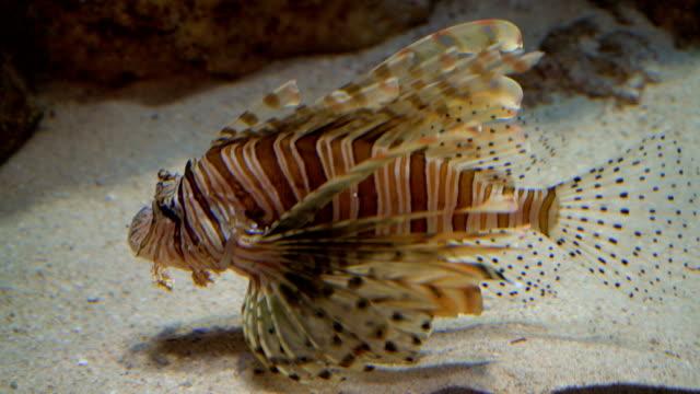 Lionfish in aquarium 4K. video