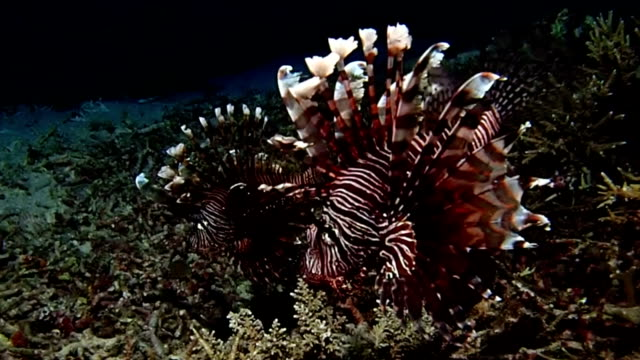 lionfish in ocean video