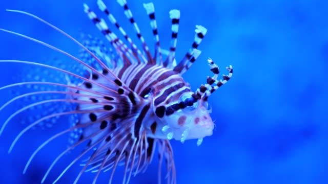 Lionfish in the sea or aquarium.