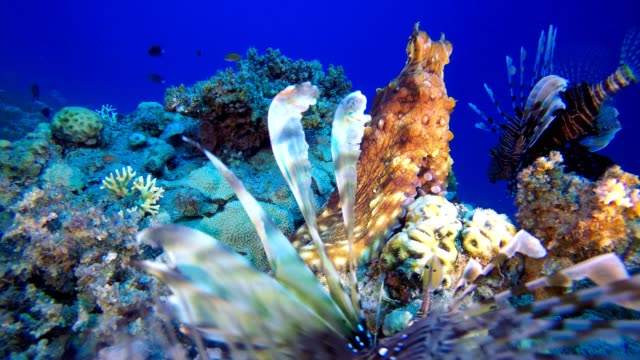 Lionfish Swimming and Octopus Red octopus (Octopus cyanea) and  lionfish (Pterois miles). Underwater fish reef marine. Tropical colorful underwater seascape. Reef coral scene. Coral garden seascape. Colorful tropical coral reefs aquatic organism stock videos & royalty-free footage