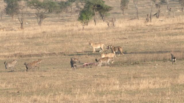 lions abandon the skeleton of a carcass to hyenas at serengeti np lions abandon the skeleton of an animal killed overnight to scavenging hyenas at serengeti national park in tanzania scavenging stock videos & royalty-free footage