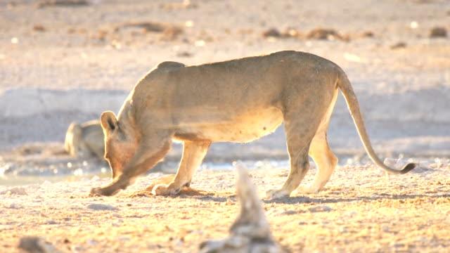 Lions at Etosha National Park, Namibia video