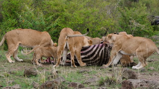 Lions eating zebra video