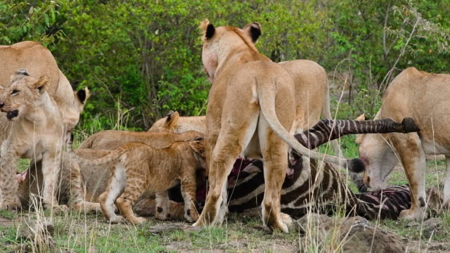 Lions eating zebra Female lions with babies eating zebra in Kenya, Africa. Mother with blood around the mouth is watching for predators at left and at right. animal family stock videos & royalty-free footage