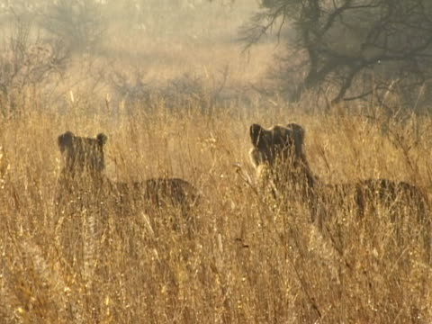 Lions in long grass video